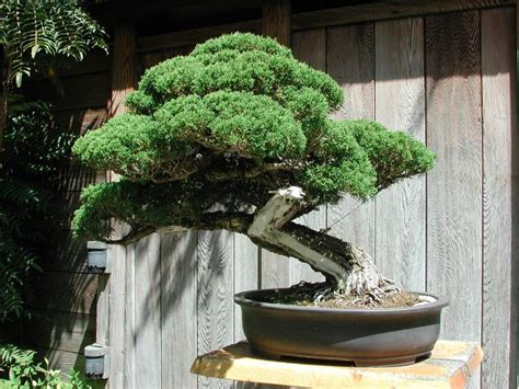 bonsai tree bonsai tree bonsai tree preface