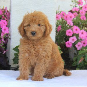 labradoodle puppies for sale ny 1000 ideas about labradoodle puppies for sale on australian labradoodle