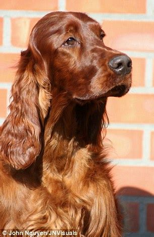 irish setter dog poisoned crufts is back after last year s drama and rivalry is more