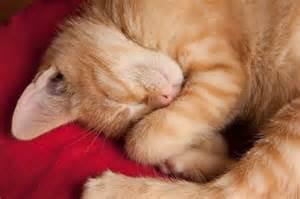 perch 233 gatti dormono sempre curiosit 224 sul lungo sonno