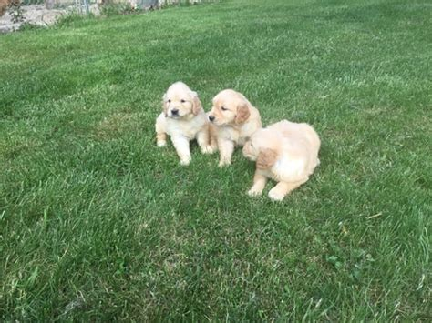 puppy finder ma view ad golden retriever puppy for sale massachusetts mattapoisett usa