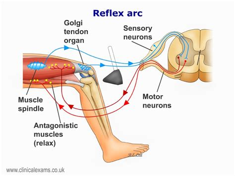 diagram of reflex arc diagram of reflex arc in human images how to guide and