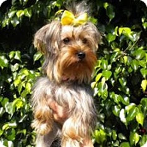 yorkie puppies fort lauderdale fort lauderdale fl yorkie terrier meet bell a for adoption