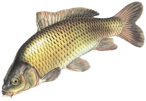Pakan Ikan Lele Dari Sayuran ikan emas perikanan
