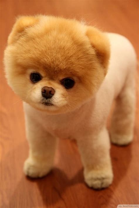 cutest puppy in the world boo the cutest in the world 37 best pomeranian breed pictures of boo bestpickr