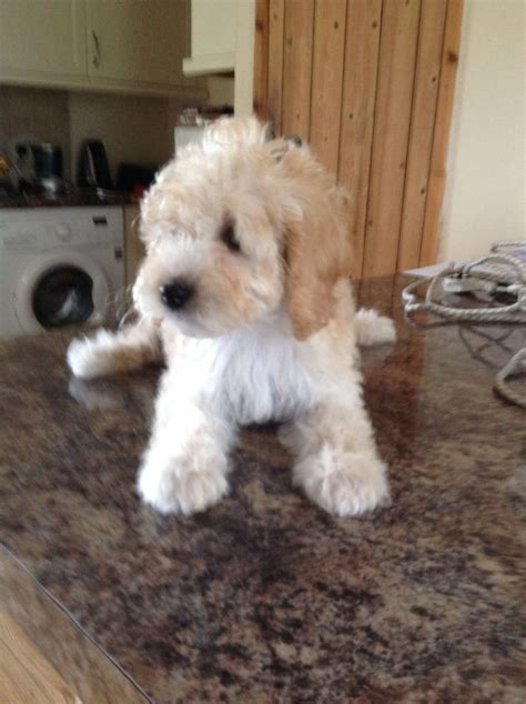 dogs for sale in michigan teddy puppies breeders in michigan breeds picture