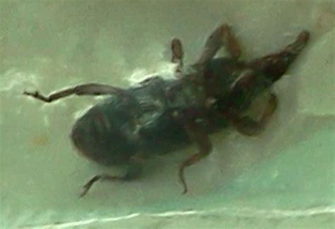 weevils in bedroom weevils in bedroom 28 images flour mites in bedroom