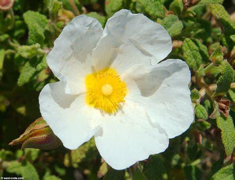 flowers photos cistus salvifolius