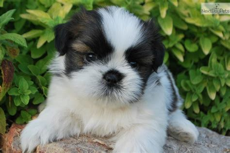 shih tzu puppies springfield mo shih tzu puppy for sale near springfield missouri 2735ce31 2c91