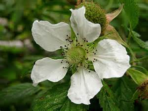 Rose Flower Pictures Free - rubus rosifolius native raspberry flower the rather