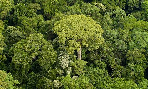 tree why why a simple governs tropical rainforest trees