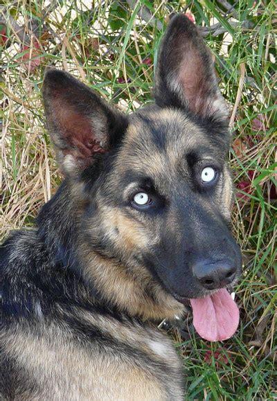 german shepherd eye color westside german shepherd rescue of los angeles