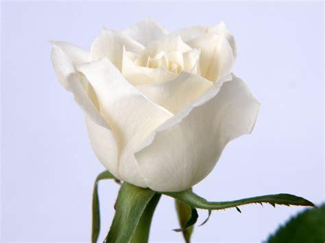 Tanaman Jadi Bunga Mawar Putih Salem menanam mawar pipiw my my journey