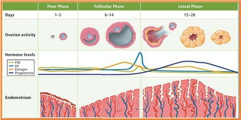 5 Hari Telat Menstruasi 4 Fase Dalam Siklus Menstruasi Duniabidan Com