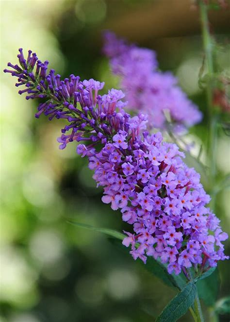 shrub with purple cone shaped flowers 265 best images about how does your garden grow on