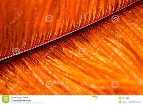 nice orange color bird feather orange color stock photo image of natural