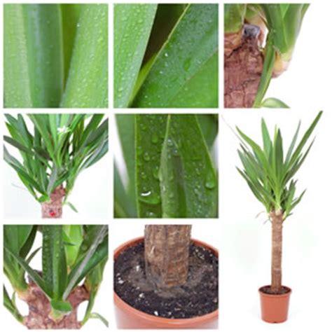 yucca palme schlafzimmer pflanzen f 252 r dunkle r 228 ume zimmerpflanzen trotz wenig