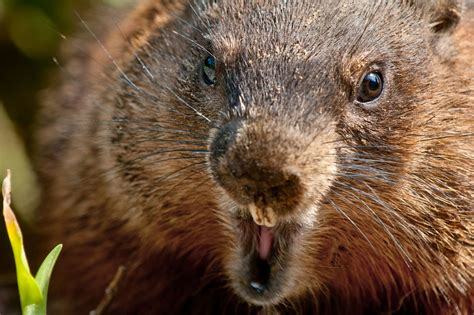 wise   groundhogs  pets