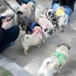 pugs chicago pugs take chicago pug prosecco hour at hotel allegro this pug