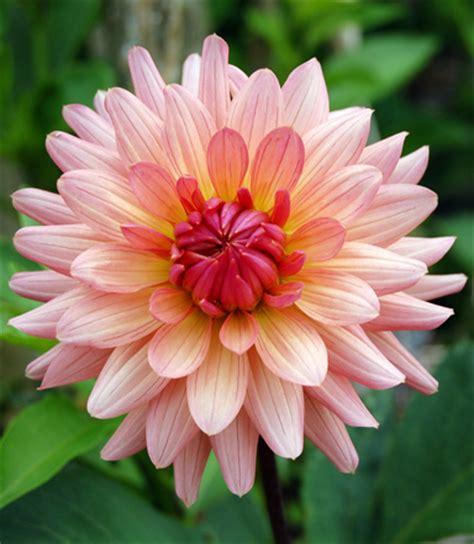 significato dei sogni fiori la dalia e il significato dei fiori in donna moderna
