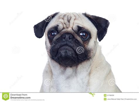 hair pug pug with white hair royalty free stock images image 31789339