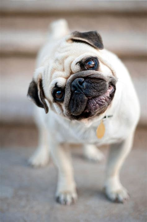 express pug designer pugs dumped for illnesses caused by nature news express co uk