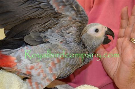 african grey congo parrot 131509 for sale in lincolnton nc