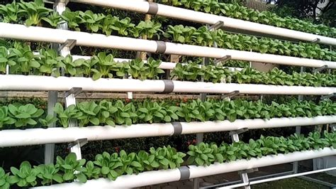 membuat hidroponik sistem dft cara menanam di hidroponik dari menyemai hingga panen