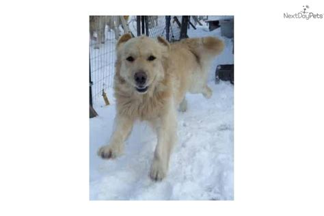 golden retriever nj golden retriever nj puppies for sale from cynazar golden retrievers new jersey