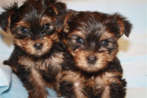 black yorkie terrier black terrier puppies norfolk pets4homes