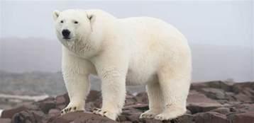 150 Meters In Feet Story Polar Bears International