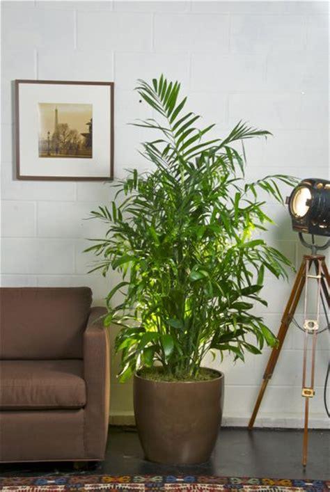 bamboo palm  pot   plants garden supplies