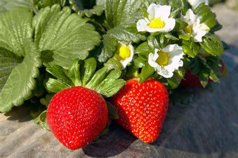 Tempat Jual Bibit Strawberry tanaman strawberry california samudrabibit