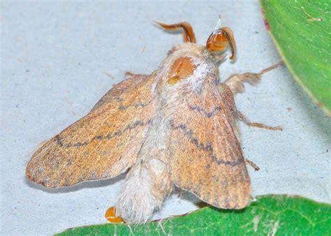 gumtree snout moth iii entometa sp