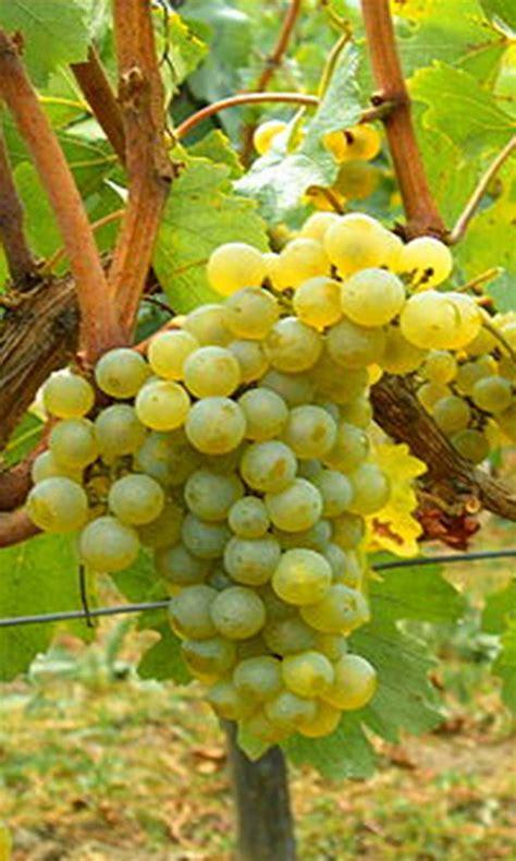 uvas blancas imagenes entre la tierra y el vino la uva la nota latina