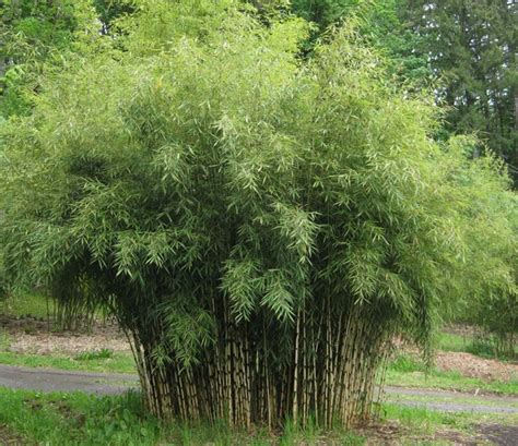 clumping bamboo landscape privacy screen and decoration
