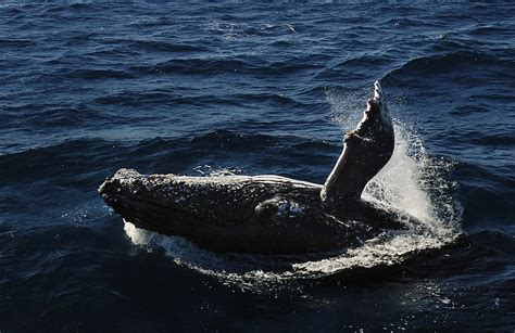 whale attacks boat giant whale attacks boat in australia injuring tourists