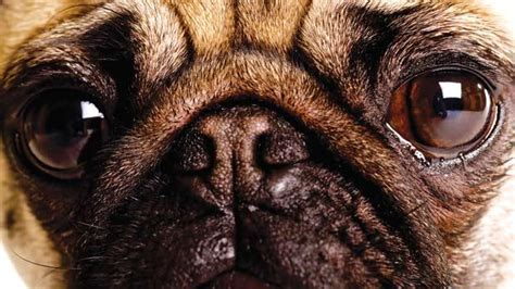 pug eye injury eye injuries and conditions