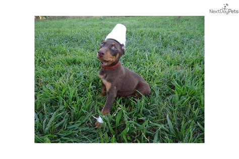 doberman puppies for sale in chicago breeds and prices breeds with cats breeds of small dogs breeds picture