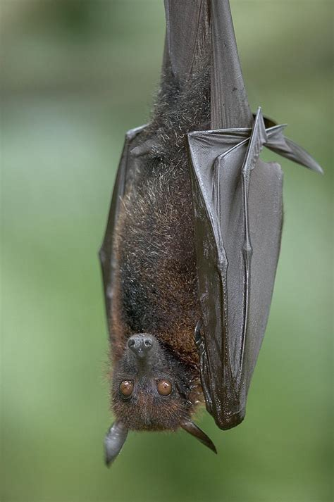 volpe volante large flying fox pteropus vyrus photograph by cyril ruoso
