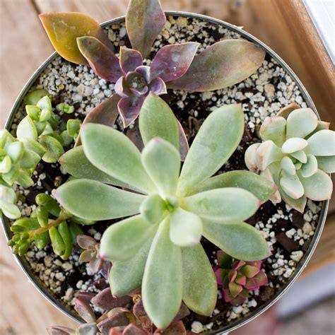 succulents meaning succulent definition what is