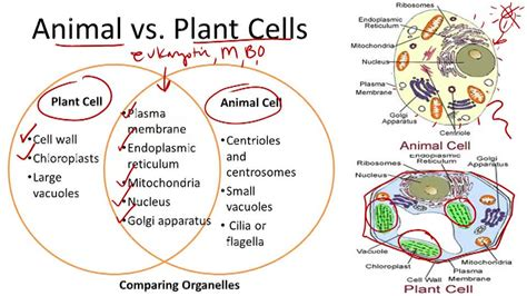 venn diagram of animal cell and plant cell concepts review unit iii section 4 3 4 4 quot structures
