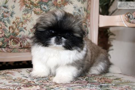 akc pekingese puppies for sale pekingese puppy for sale near tulsa oklahoma bdabe55a 1c61