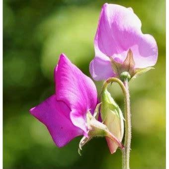 Benih Bibit Biji Bunga Sweet Pea Purple bibit bunga sweet pea knee high