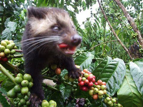 Coffee Bean Di Bali kopi luwak lung barat telaga pandan
