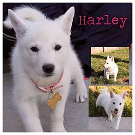 husky german shepherd mix puppies for adoption harley adopted puppy garden city mi husky german shepherd mix