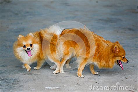 pomeranian mating and pomeranian mating mating of pet royalty free stock photography