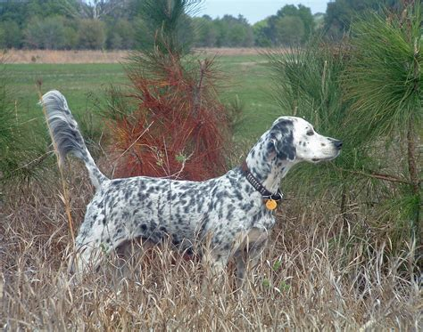 Setter Gun Dog Training | english setters dog photo bird dog training pointing dog