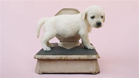 how much will my puppy weigh how much should my puppy weigh reference