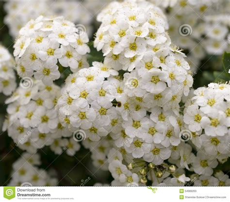 green bush with clusters of white flowers stock photo